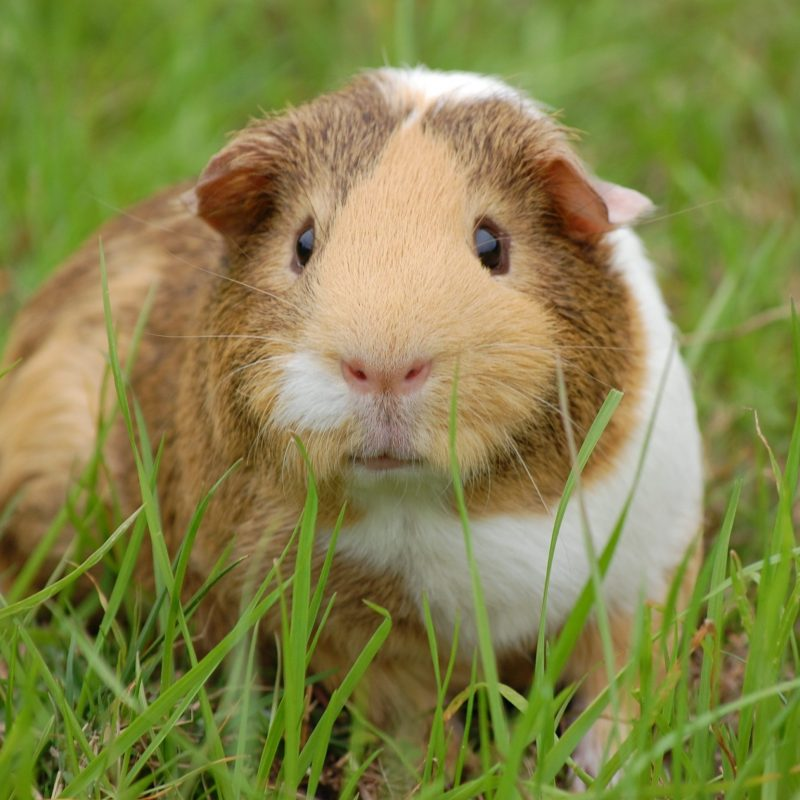 animal-closeup-guinea-pig-60693